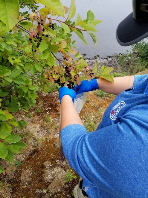 CNSC staff member collecting chokecherries near NPDWF in 2018.