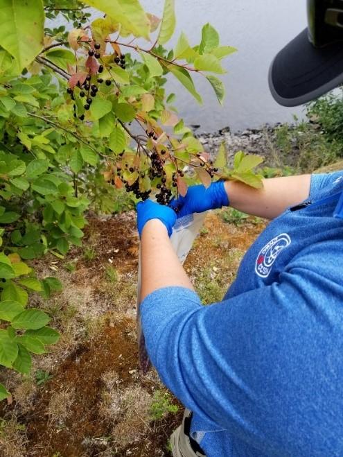 Un membre du personnel de la CCSN prélève des cerises de Virginie près de l'IGDRND en 2018.