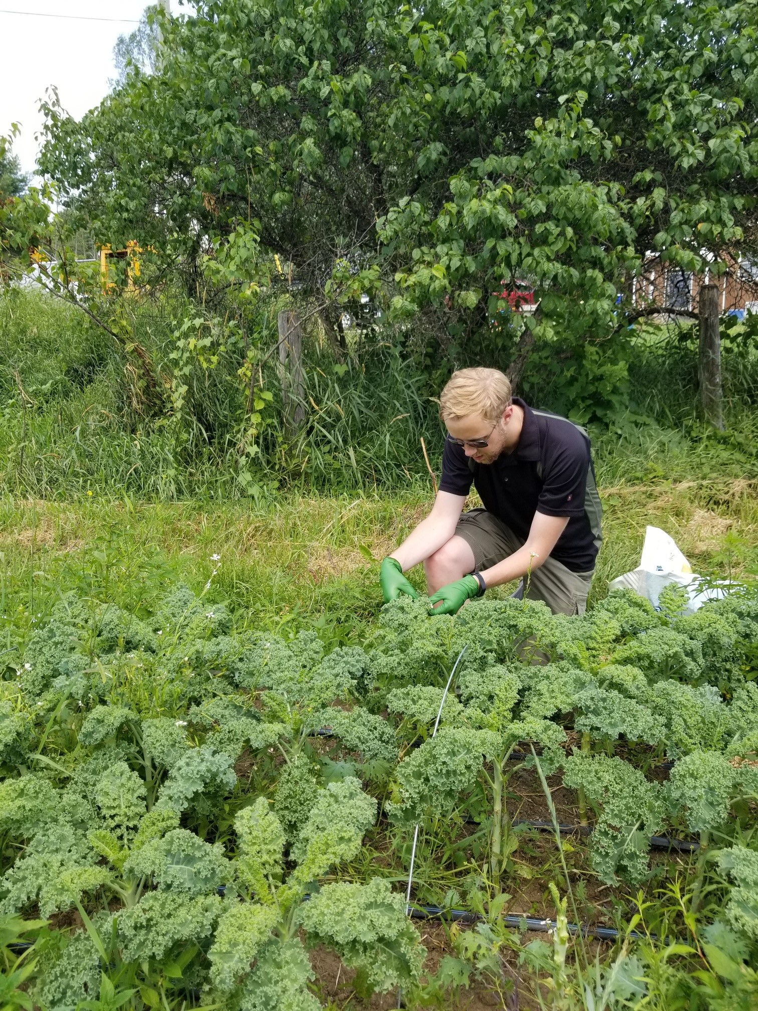 CNSC staff collecting kale near the CRL site in 2019